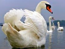 el cisne blanco mira detrás Fotos de archivo libres de regalías