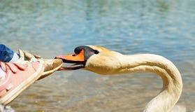 El cisne blanco muerde los pies de los niños foto de archivo