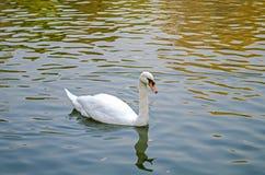 El cisne blanco nada en una charca solamente primer fotos de archivo