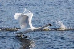 El cisne blanco saca de superficie azul del río en el día soleado Fotografía de archivo libre de regalías