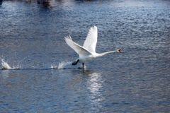El cisne blanco saca de superficie del río Imágenes de archivo libres de regalías