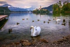 El cisne blanco y los patos que nadaban en el lago sangraron en un día lluvioso Fotos de archivo