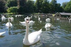 El cisne Comer-Como-Mucho-como usted puede ir de fiesta foto de archivo
