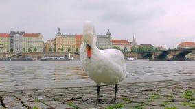 El cisne divertido está limpiando la pluma, colocándose en el terraplén de piedra en ciudad en día del otoño, panorama de Praga almacen de metraje de vídeo
