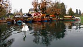 El cisne en el lago sangró Eslovenia