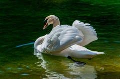 El cisne en el watre fotografía de archivo