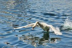 El cisne encendido saca Imagen de archivo