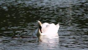 El cisne está comiendo