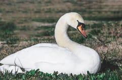El cisne está descansando sobre la hierba fotografía de archivo