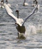 El cisne está sacando del agua fotos de archivo libres de regalías