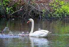 El cisne femenino lleva polluelos lleva a cuestas Fotos de archivo