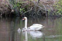 El cisne femenino lleva polluelos lleva a cuestas Imagenes de archivo