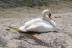 El cisne hermoso duerme en la orilla de una charca foto de archivo