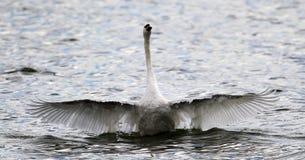 El cisne hermoso separa sus alas imagen de archivo libre de regalías