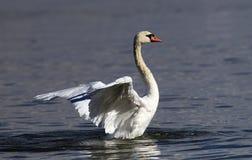 El cisne hermoso separa sus alas fotografía de archivo