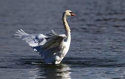 El cisne hermoso separa sus alas fotos de archivo libres de regalías