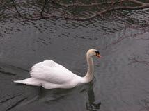 El cisne imperial Imágenes de archivo libres de regalías