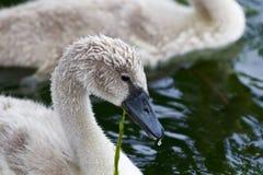 El cisne joven hermoso está comiendo las algas Imagen de archivo