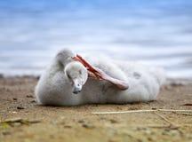 El cisne joven limpia plumas en el banco del lago Imagen de archivo