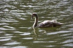 El cisne joven nada en el lago Fotos de archivo