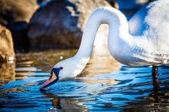 El cisne mudo Foto de archivo