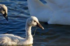 El cisne mudo joven está nadando y está comiendo Imagenes de archivo
