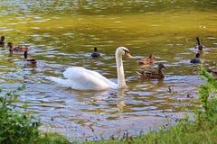 El cisne mudo o cisne mudo (olor del Cygnus) Imagen de archivo libre de regalías
