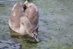 El cisne mudo, olor del Cygnus, con los jóvenes Imagen de archivo libre de regalías