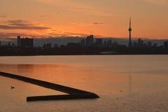 El cisne mudo solitario nada en el resplandor de oro de la salida del sol Fotos de archivo
