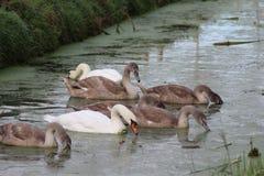 El cisne mudo y el x28; Olor& x29 del Cygnus; con los jóvenes Foto de archivo