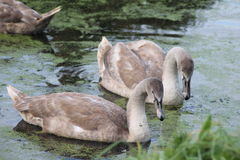 El cisne mudo y el x28; Olor& x29 del Cygnus; con los jóvenes Imagen de archivo libre de regalías