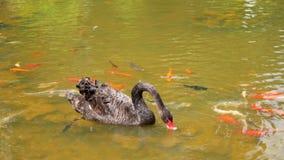 El cisne nada entre pescados coloridos en el lago almacen de metraje de vídeo