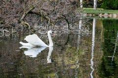 El cisne nada a lo largo del lago Imagenes de archivo
