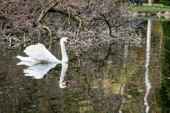 El cisne nada a lo largo del lago Foto de archivo libre de regalías