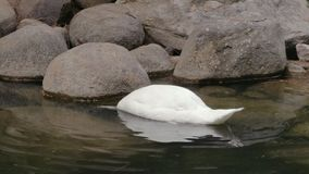 El cisne nada y se zambulle en un lago en parque almacen de metraje de vídeo