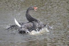 El cisne negro fotografía de archivo libre de regalías
