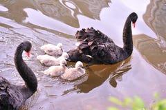 El cisne negro imagen de archivo libre de regalías