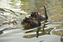 El cisne negro fotos de archivo