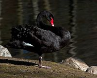 El cisne negro, atratus del Cygnus imagenes de archivo