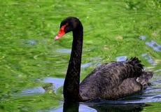 El cisne negro con un pico y un rojo rojos observa la flotación en la charca Imagen de archivo libre de regalías