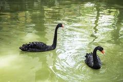 El cisne negro es un waterbird grande, una especie de cisne Foto de archivo