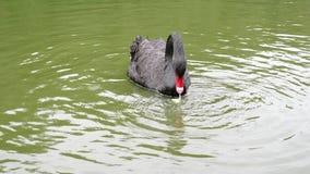 El cisne negro solo con un pico rojo flota en un Green River y elige la comida almacen de metraje de vídeo