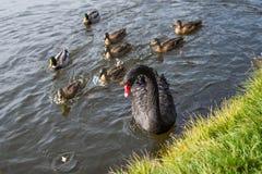El cisne negro y una multitud de patos cogen el pan en agua azul del lago en día soleado foto de archivo