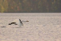 El cisne saca Fotografía de archivo libre de regalías