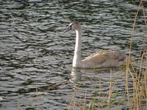 El cisne salvaje Imagen de archivo libre de regalías