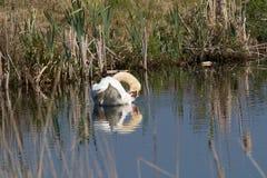 El cisne se está limpiando Imagen de archivo