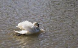 El cisne solo Imagen de archivo