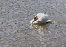 El cisne solo Fotos de archivo libres de regalías
