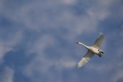 El cisne vuela en cielo azul con las nubes ligeras fotografía de archivo