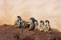 El clan de Meerkat en Palmitos estaciona, Gran Canaria, España Foto de archivo libre de regalías
